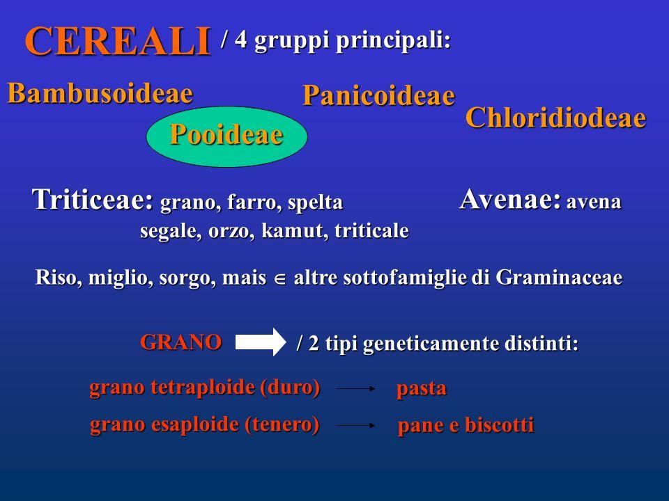CEREALI Bambusoideae Panicoideae Chloridiodeae Pooideae