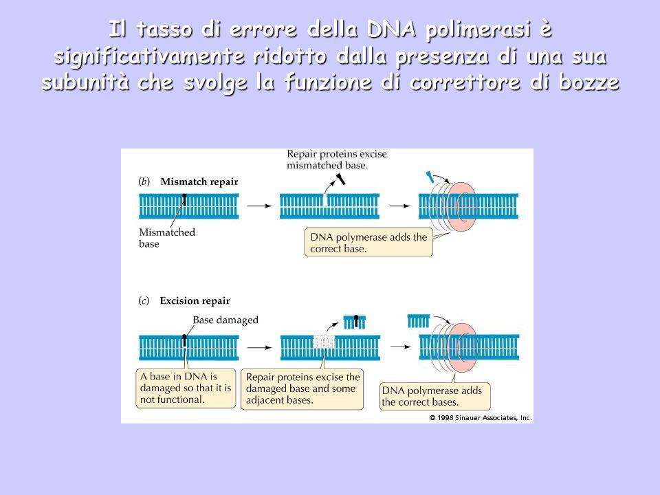 Il tasso di errore della DNA polimerasi è significativamente ridotto dalla presenza di una sua subunità che svolge la funzione di correttore di bozze