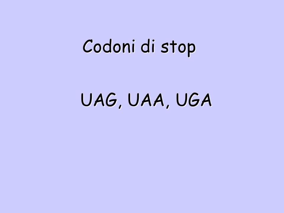 Codoni di stop UAG, UAA, UGA
