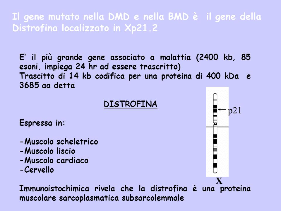 Il gene mutato nella DMD e nella BMD è il gene della