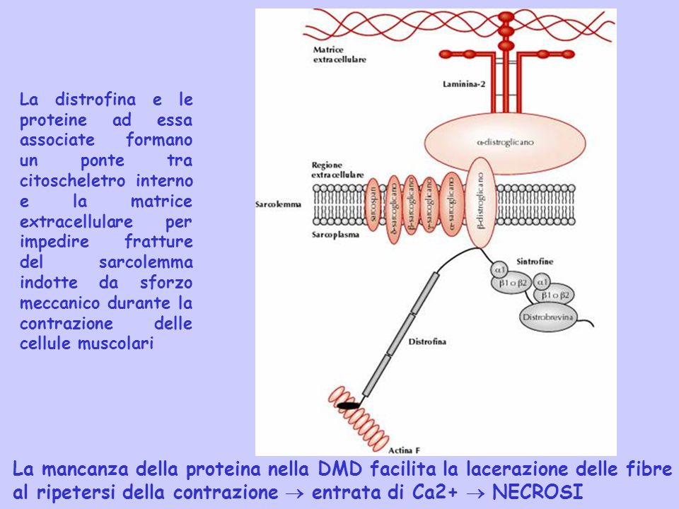 al ripetersi della contrazione  entrata di Ca2+  NECROSI