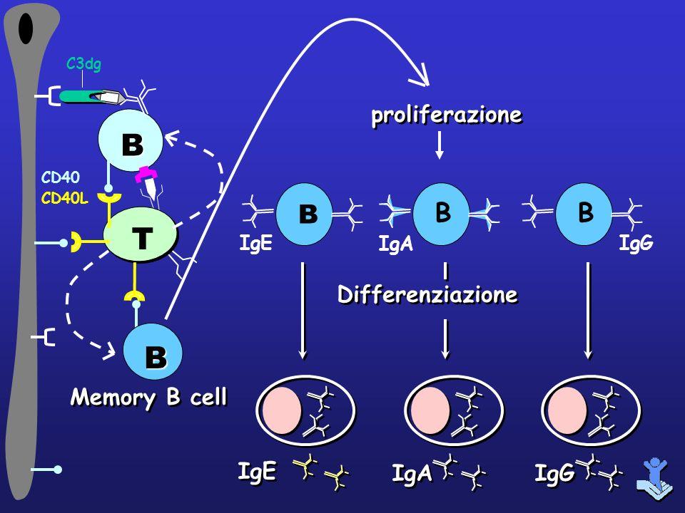 B T B B proliferazione Differenziazione Memory B cell IgE IgA IgG IgE