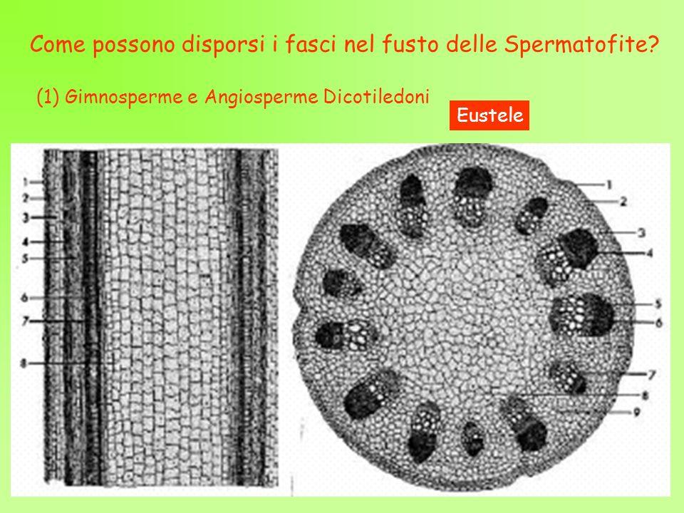 Come possono disporsi i fasci nel fusto delle Spermatofite