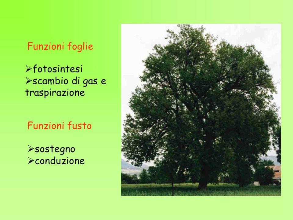 Funzioni foglie fotosintesi scambio di gas e traspirazione Funzioni fusto sostegno conduzione