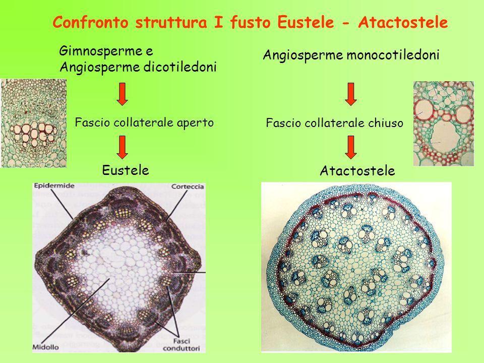 Confronto struttura I fusto Eustele - Atactostele