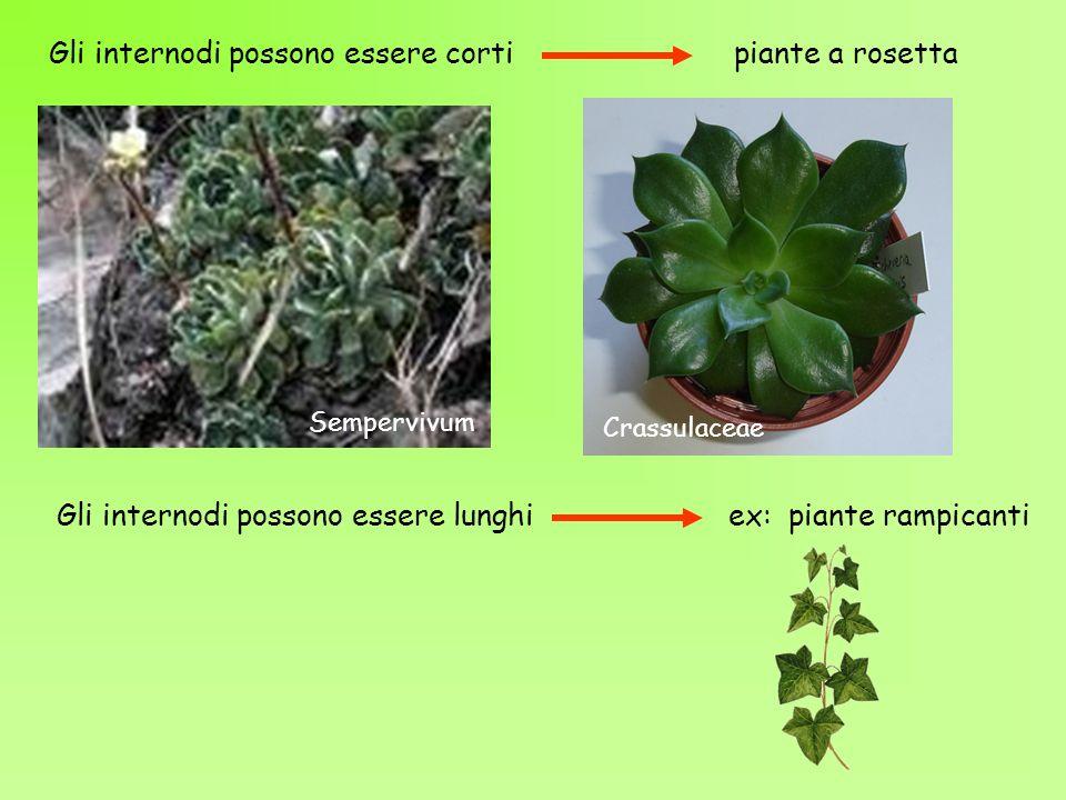 Gli internodi possono essere corti piante a rosetta