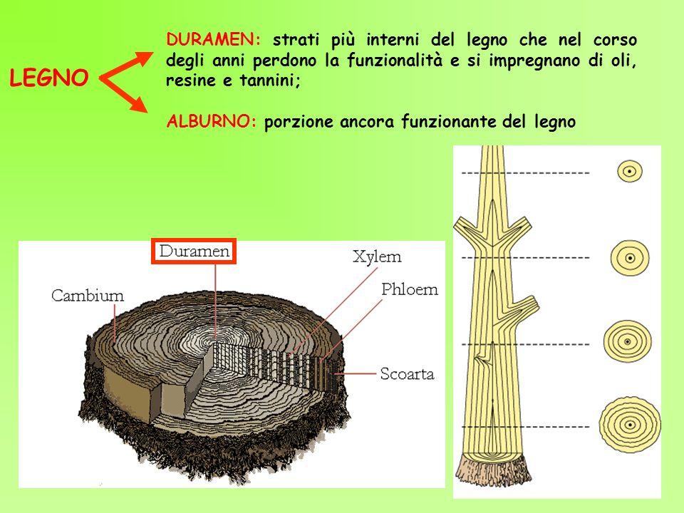 DURAMEN: strati più interni del legno che nel corso degli anni perdono la funzionalità e si impregnano di oli, resine e tannini;