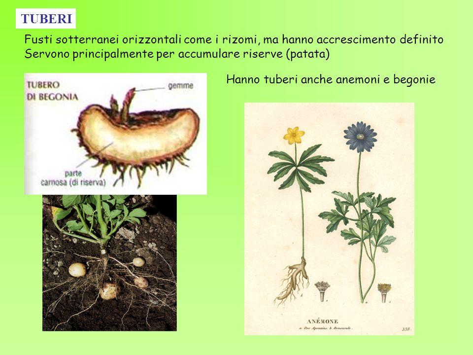 TUBERIFusti sotterranei orizzontali come i rizomi, ma hanno accrescimento definito. Servono principalmente per accumulare riserve (patata)