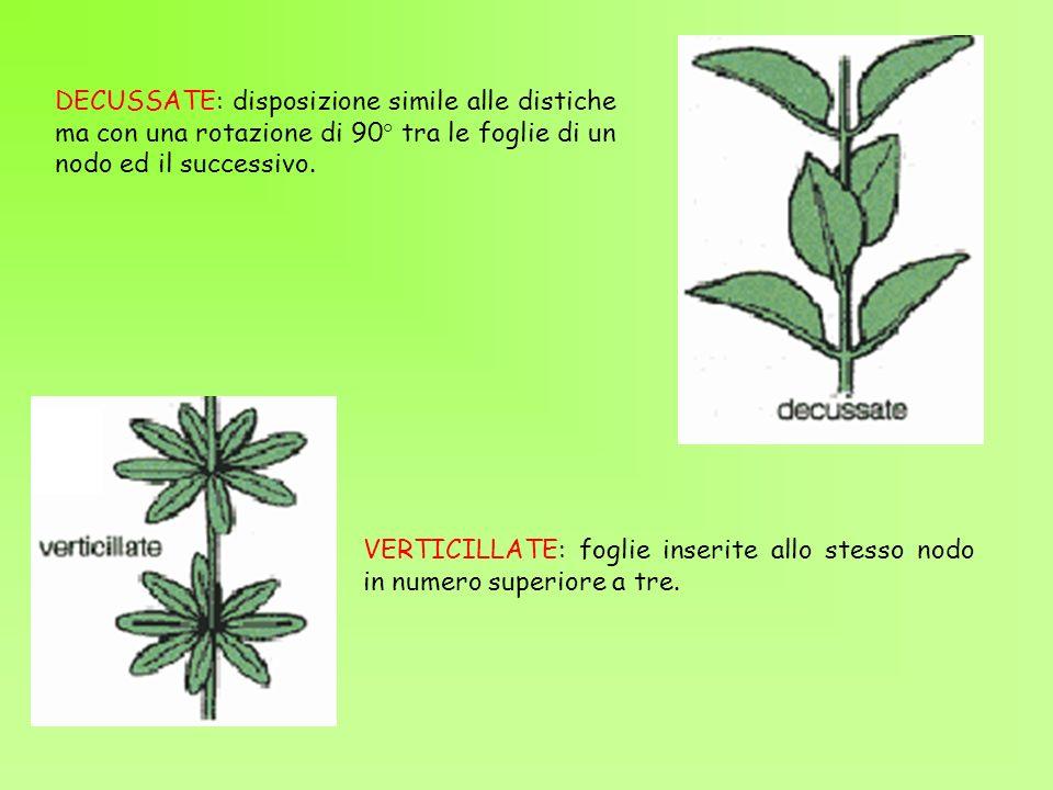 DECUSSATE: disposizione simile alle distiche ma con una rotazione di 90° tra le foglie di un nodo ed il successivo.