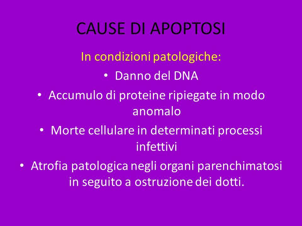 CAUSE DI APOPTOSI In condizioni patologiche: Danno del DNA