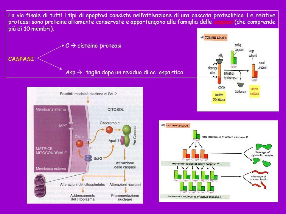 La via finale di tutti i tipi di apoptosi consiste nell'attivazione di una cascata proteolitica. Le relative proteasi sono proteine altamente conservate e appartengono alla famiglia delle caspasi (che comprende più di 10 membri).