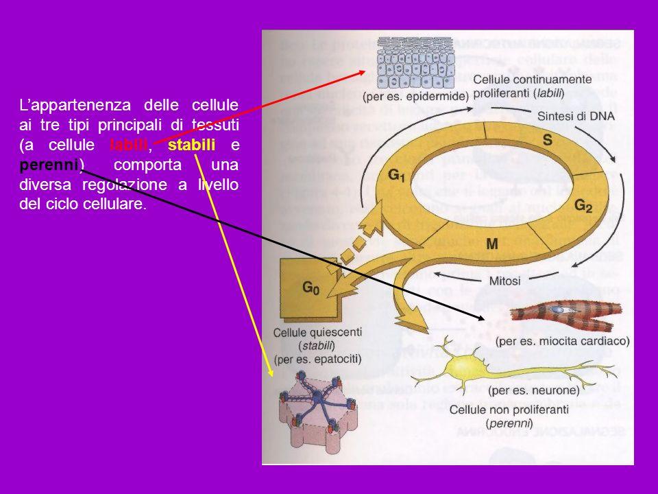 L'appartenenza delle cellule ai tre tipi principali di tessuti (a cellule labili, stabili e perenni) comporta una diversa regolazione a livello del ciclo cellulare.