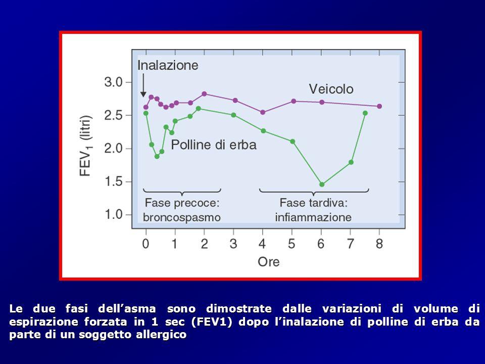 Le due fasi dell'asma sono dimostrate dalle variazioni di volume di espirazione forzata in 1 sec (FEV1) dopo l'inalazione di polline di erba da parte di un soggetto allergico