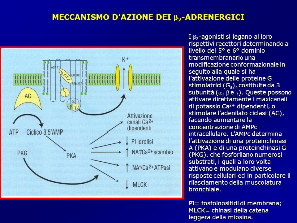 MECCANISMO D'AZIONE DEI b2-ADRENERGICI