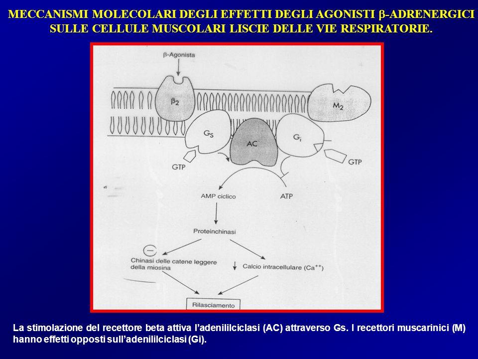 MECCANISMI MOLECOLARI DEGLI EFFETTI DEGLI AGONISTI b-ADRENERGICI SULLE CELLULE MUSCOLARI LISCIE DELLE VIE RESPIRATORIE.