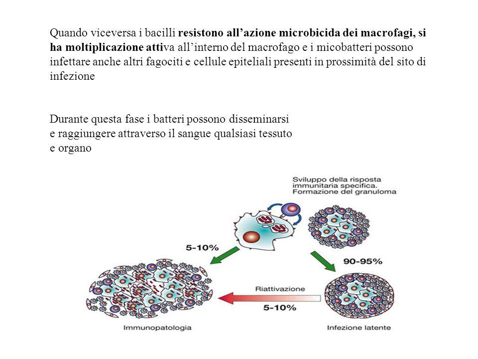 Quando viceversa i bacilli resistono all'azione microbicida dei macrofagi, si ha moltiplicazione attiva all'interno del macrofago e i micobatteri possono infettare anche altri fagociti e cellule epiteliali presenti in prossimità del sito di infezione