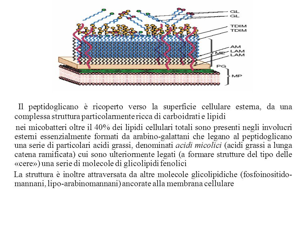 Il peptidoglicano è ricoperto verso la superficie cellulare esterna, da una complessa struttura particolarmente ricca di carboidrati e lipidi