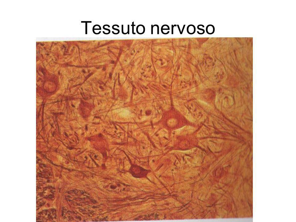 Tessuto nervoso