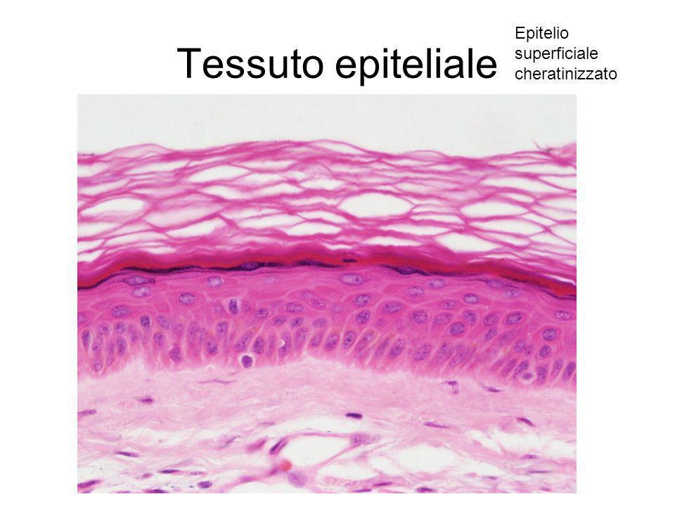 Tessuto epiteliale Epitelio superficiale cheratinizzato