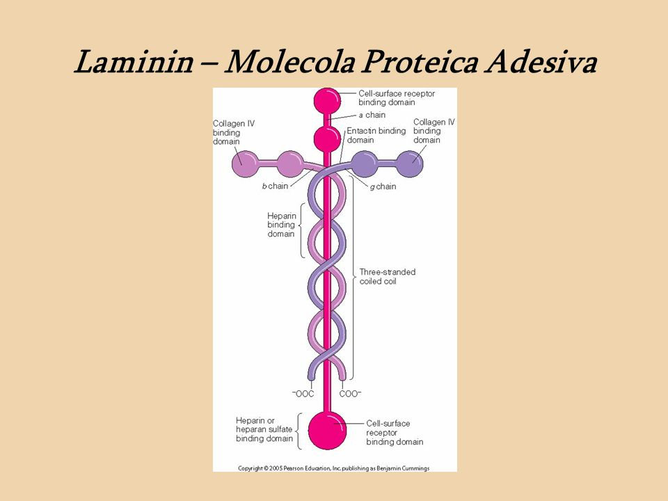 Laminin – Molecola Proteica Adesiva