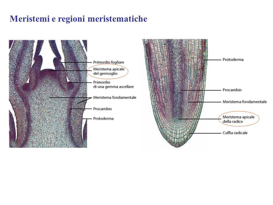 Meristemi e regioni meristematiche