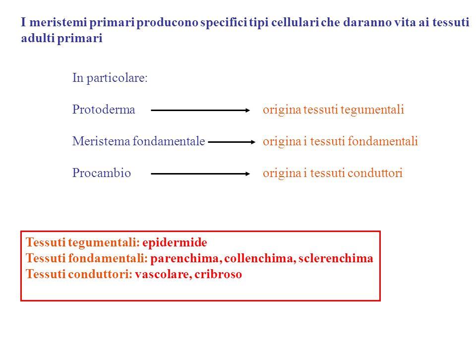I meristemi primari producono specifici tipi cellulari che daranno vita ai tessuti adulti primari