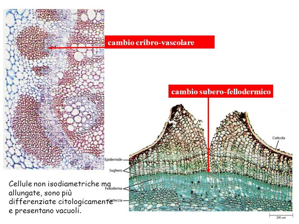 cambio cribro-vascolare