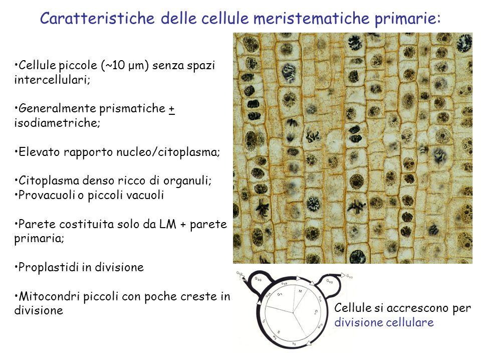 Caratteristiche delle cellule meristematiche primarie: