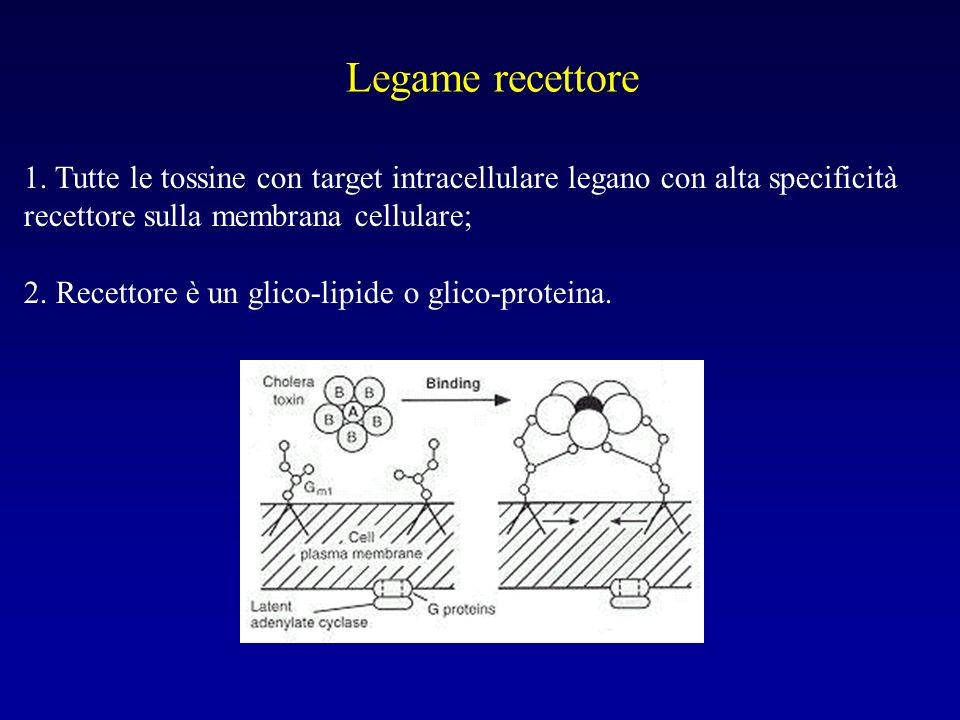 Legame recettore 1. Tutte le tossine con target intracellulare legano con alta specificità recettore sulla membrana cellulare;