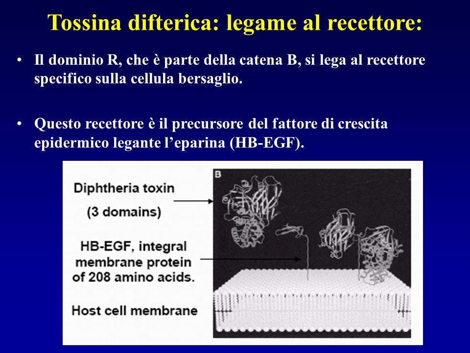 Tossina difterica: legame al recettore: