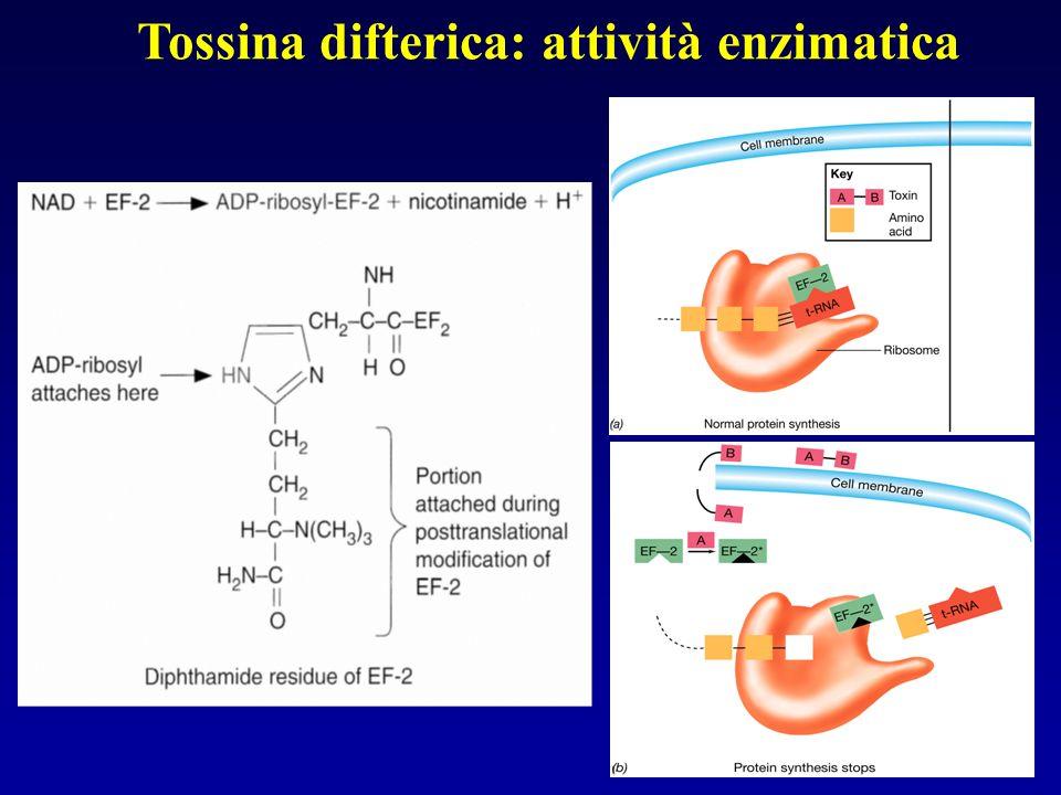 Tossina difterica: attività enzimatica