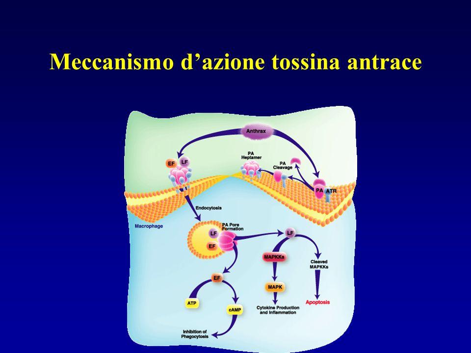 Meccanismo d'azione tossina antrace
