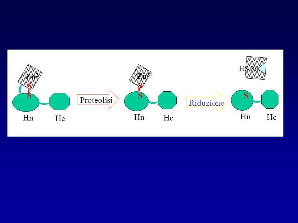 S Hn Hc HS Zn Zn2+ Hn Hc S Zn2+ Hn Hc S Proteolisi Riduzione
