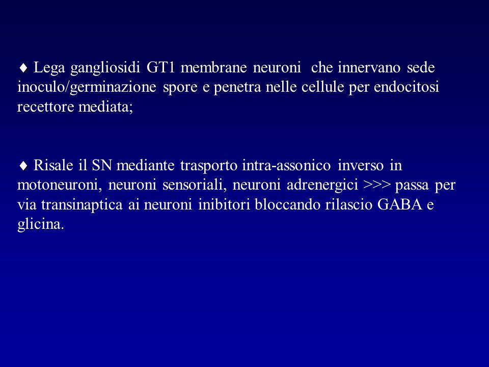  Lega gangliosidi GT1 membrane neuroni che innervano sede inoculo/germinazione spore e penetra nelle cellule per endocitosi recettore mediata;