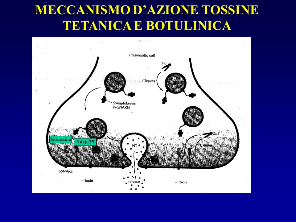 MECCANISMO D'AZIONE TOSSINE