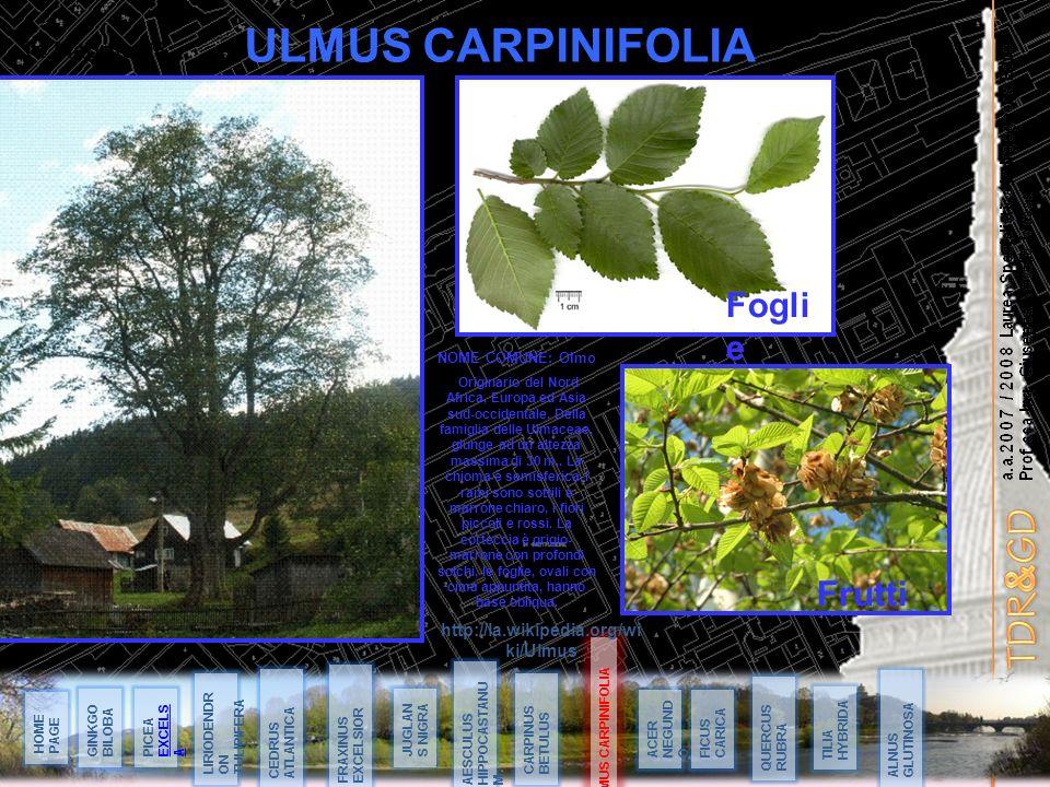 ULMUS CARPINIFOLIA Foglie Frutti 14 Maggio 08