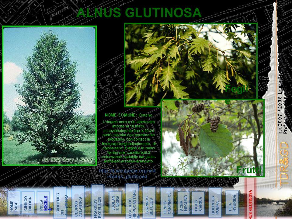 ALNUS GLUTINOSA Foglie Frutti 14 Maggio 08