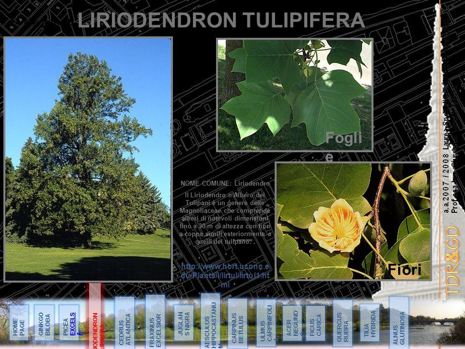 LIRIODENDRON TULIPIFERA NOME COMUNE: Liriodendro