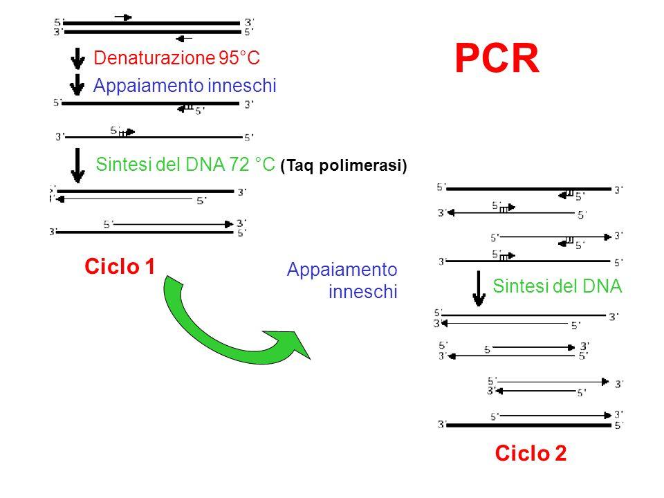 PCR Ciclo 1 Ciclo 2 Denaturazione 95°C Appaiamento inneschi