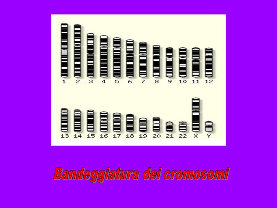 Bandeggiatura dei cromosomi