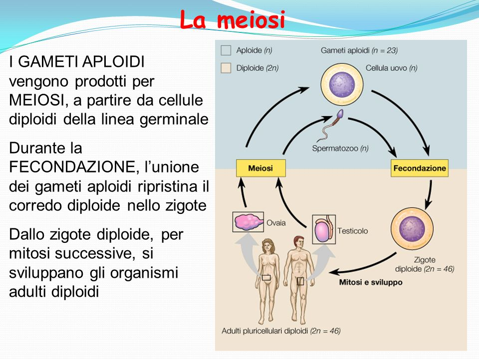 La meiosiI GAMETI APLOIDI vengono prodotti per MEIOSI, a partire da cellule diploidi della linea germinale.