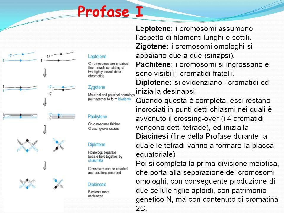 Profase I Leptotene: i cromosomi assumono l aspetto di filamenti lunghi e sottili. Zigotene: i cromosomi omologhi si appaiano due a due (sinapsi).