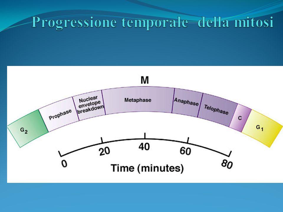 Progressione temporale della mitosi