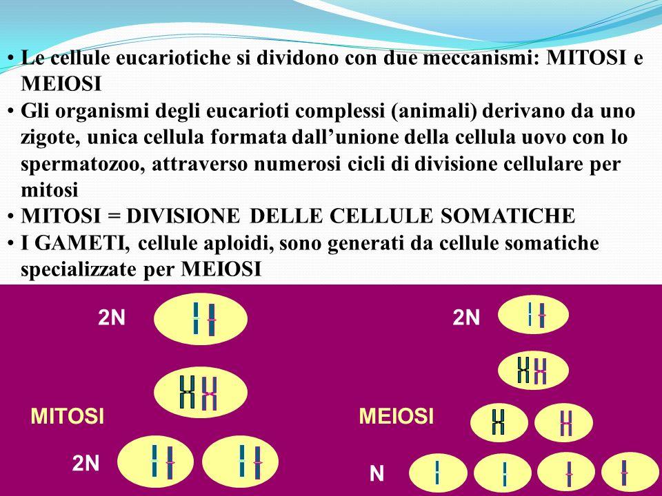 Le cellule eucariotiche si dividono con due meccanismi: MITOSI e MEIOSI