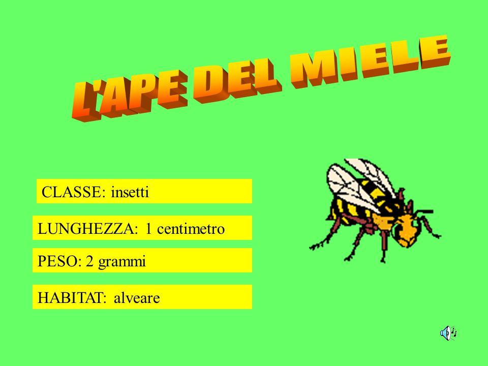 L APE DEL MIELE CLASSE: insetti LUNGHEZZA: 1 centimetro PESO: 2 grammi