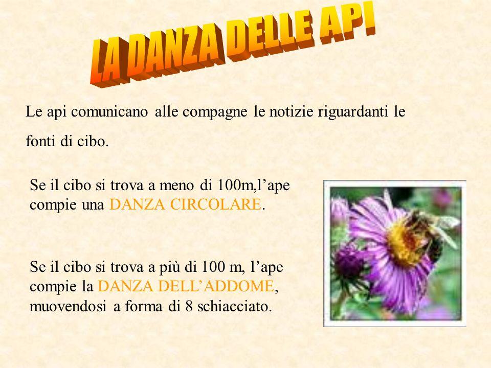 LA DANZA DELLE API Le api comunicano alle compagne le notizie riguardanti le. fonti di cibo.