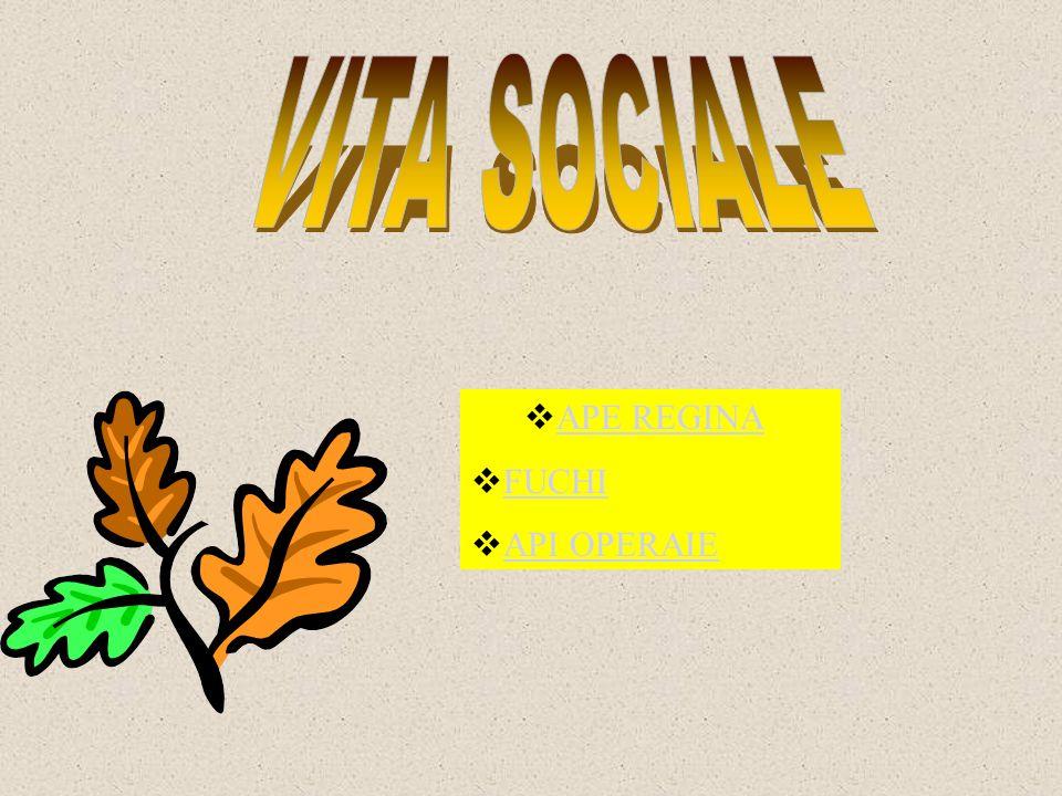 VITA SOCIALE APE REGINA FUCHI API OPERAIE