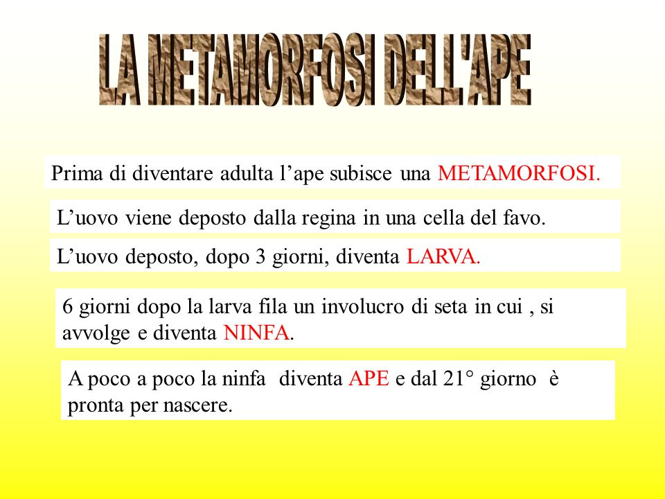 LA METAMORFOSI DELL APE