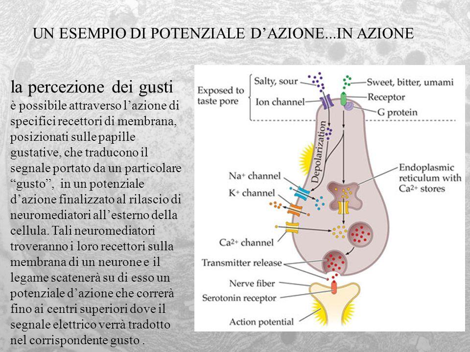 UN ESEMPIO DI POTENZIALE D'AZIONE...IN AZIONE
