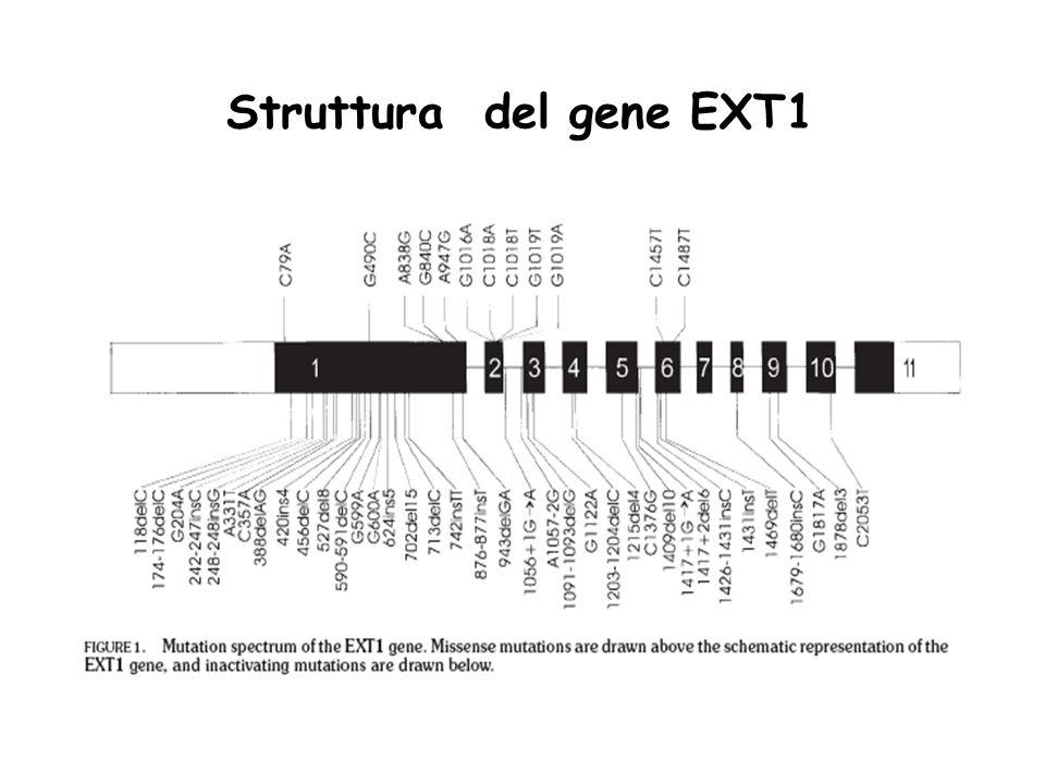 Struttura del gene EXT1